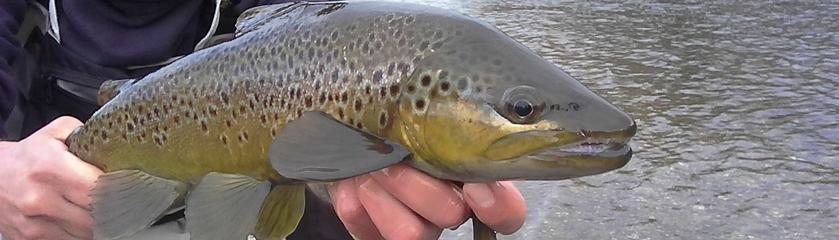 a Brown trout from the Mataura River